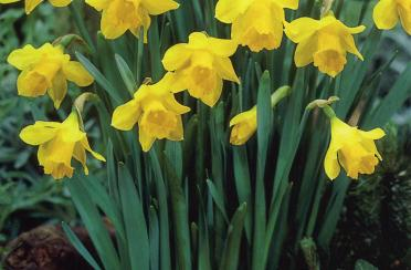 Narcissus-Little-Gem1